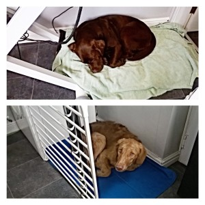 My beautiful babies, Evie and Flynn relaxing in the comforts of the groom room after a hard days play in the park